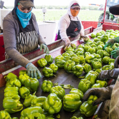 Spice of Life – Yolo County Peppers