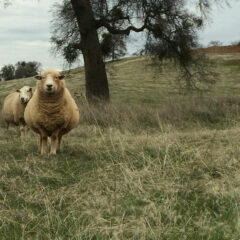 #Sheep365 – A Look Back