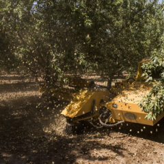 Almond Harvest in Arbuckle