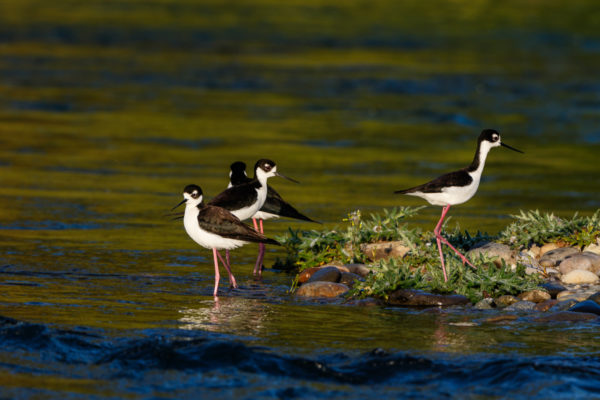 Black-neck Stilts 4000-150504-_7D_3864
