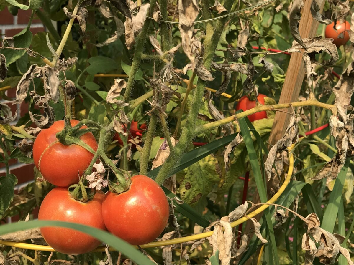 red tomatoes growing in a garden