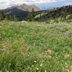 Wildflowers at Carson Pass via Round Top Lake