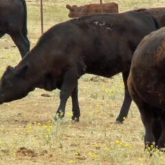 Ranching and Drought