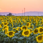 Sunflowers in Our Valley
