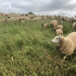 Day-to-Day: Raising Sheep in an Uncertain World