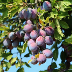 5 Facts You Didn't Know About Prunes