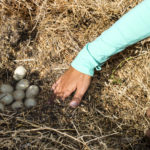 Rescuing Duck Eggs