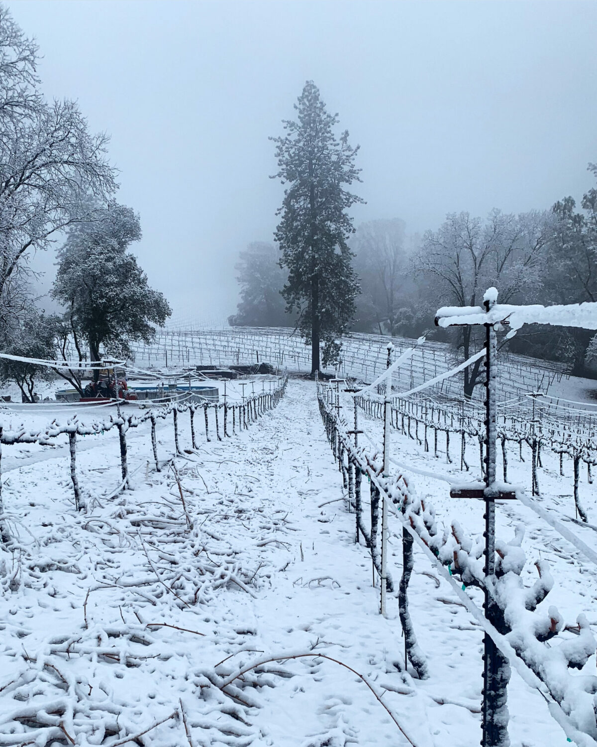 grape vines overed in snow in winter