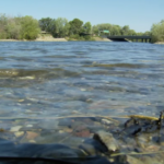 Saving Sacramento River Salmon
