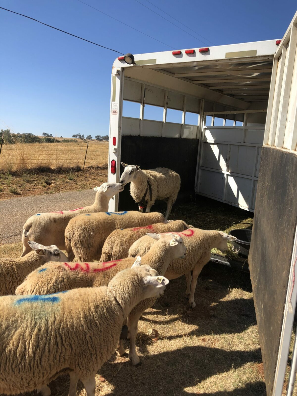 sheep being loaded into trailer