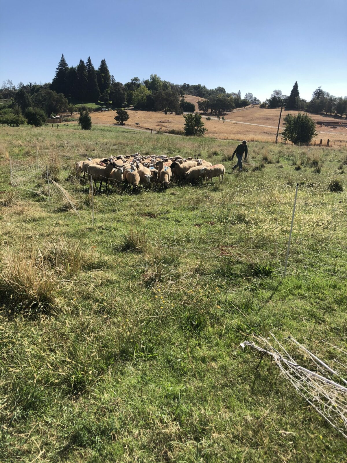 sheep grazing in field
