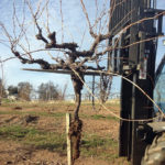 Planting Vines in a Drought Year