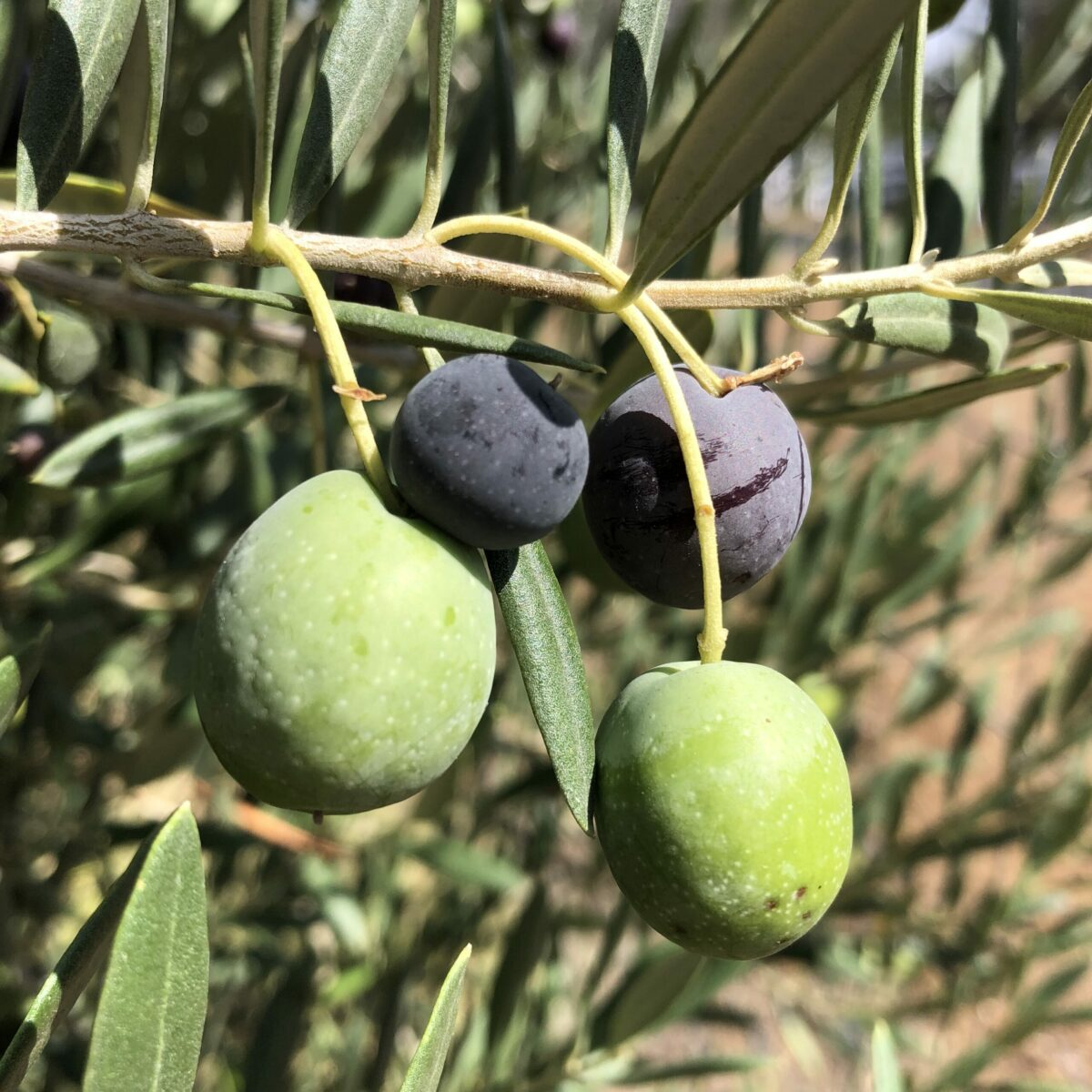 olives on tree branch