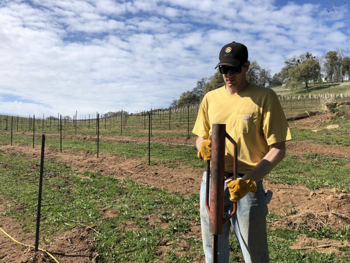 worker placing stakes for new grape vines