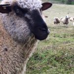 100 Days In – An Update on the #sheep365 Project