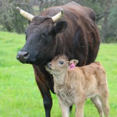 Where American Wagyu Cattle Ranching and Nature Join Hands