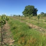 It's all about the weeds – native cover crop actually!