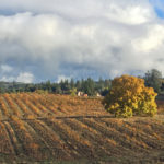 Leaf fall at Walker Vineyard