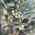 Sacramento Valley Olive Oil