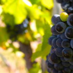 Harvest begins in one of California's under-discovered Wine Regions