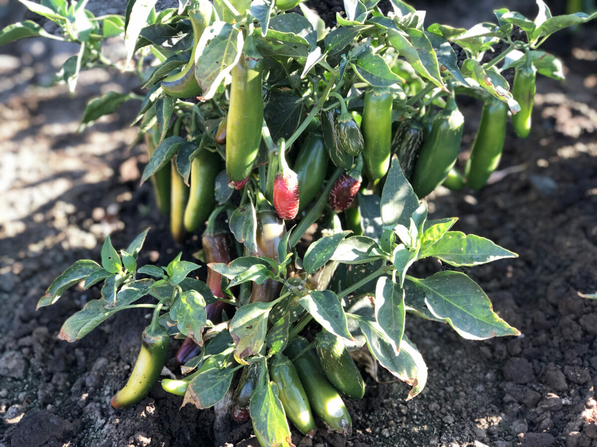 jalapeno peppers on bush