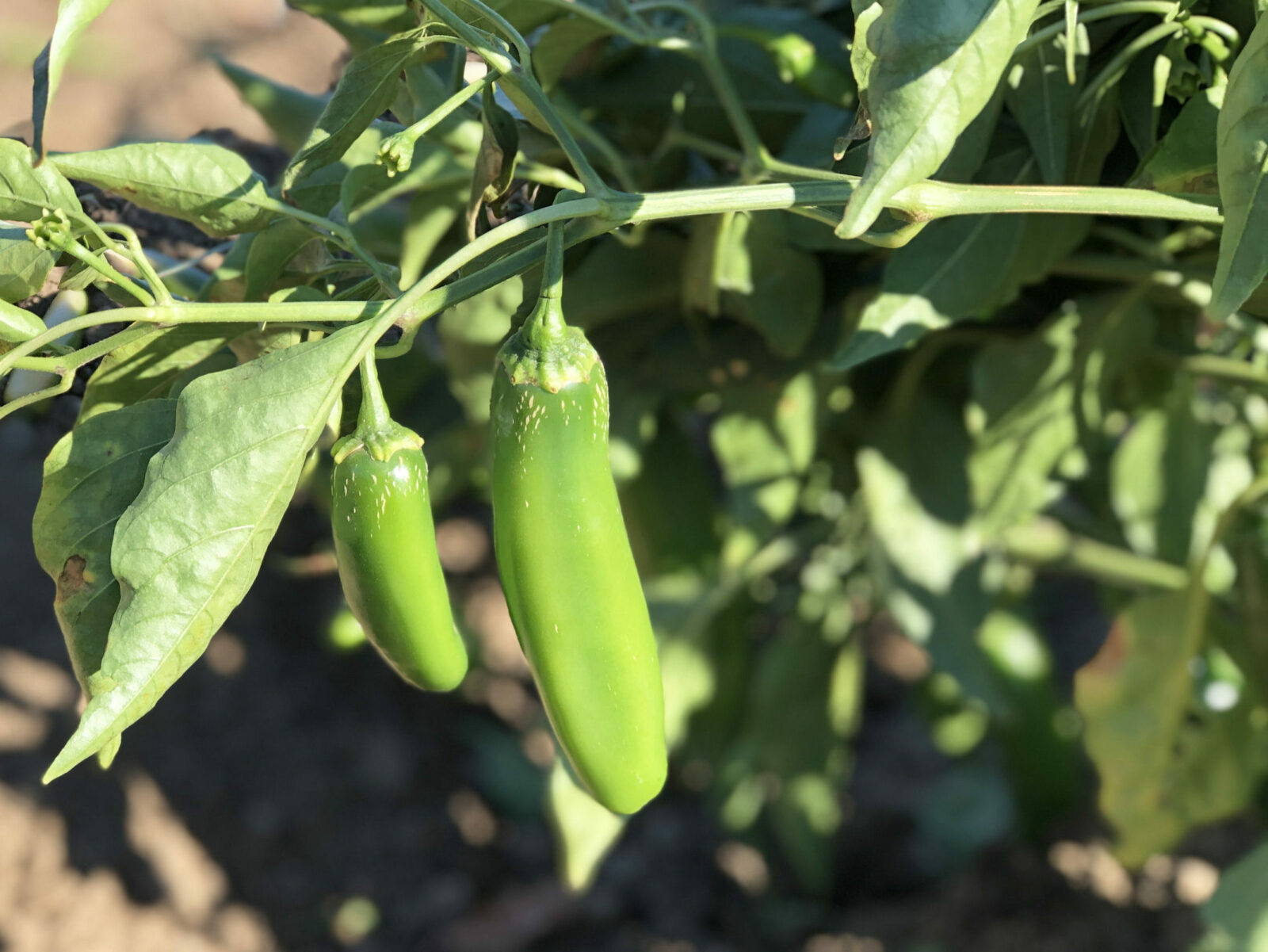Prolific Peppers
