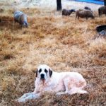 Dogs, Neighbors and Ranching Close to Town