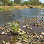 Salmon in Mill and Deer Creeks