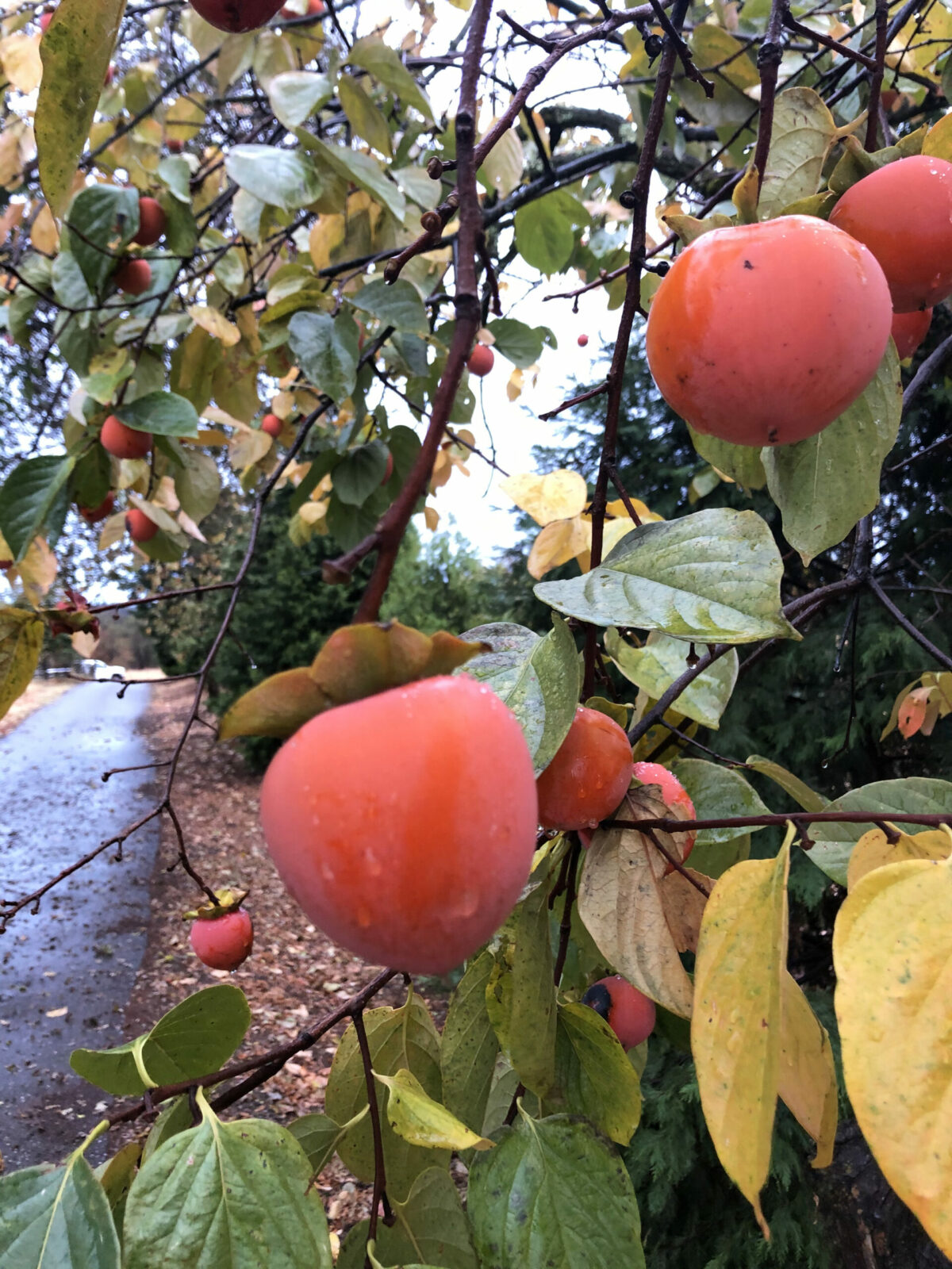 persimmons on tree branch