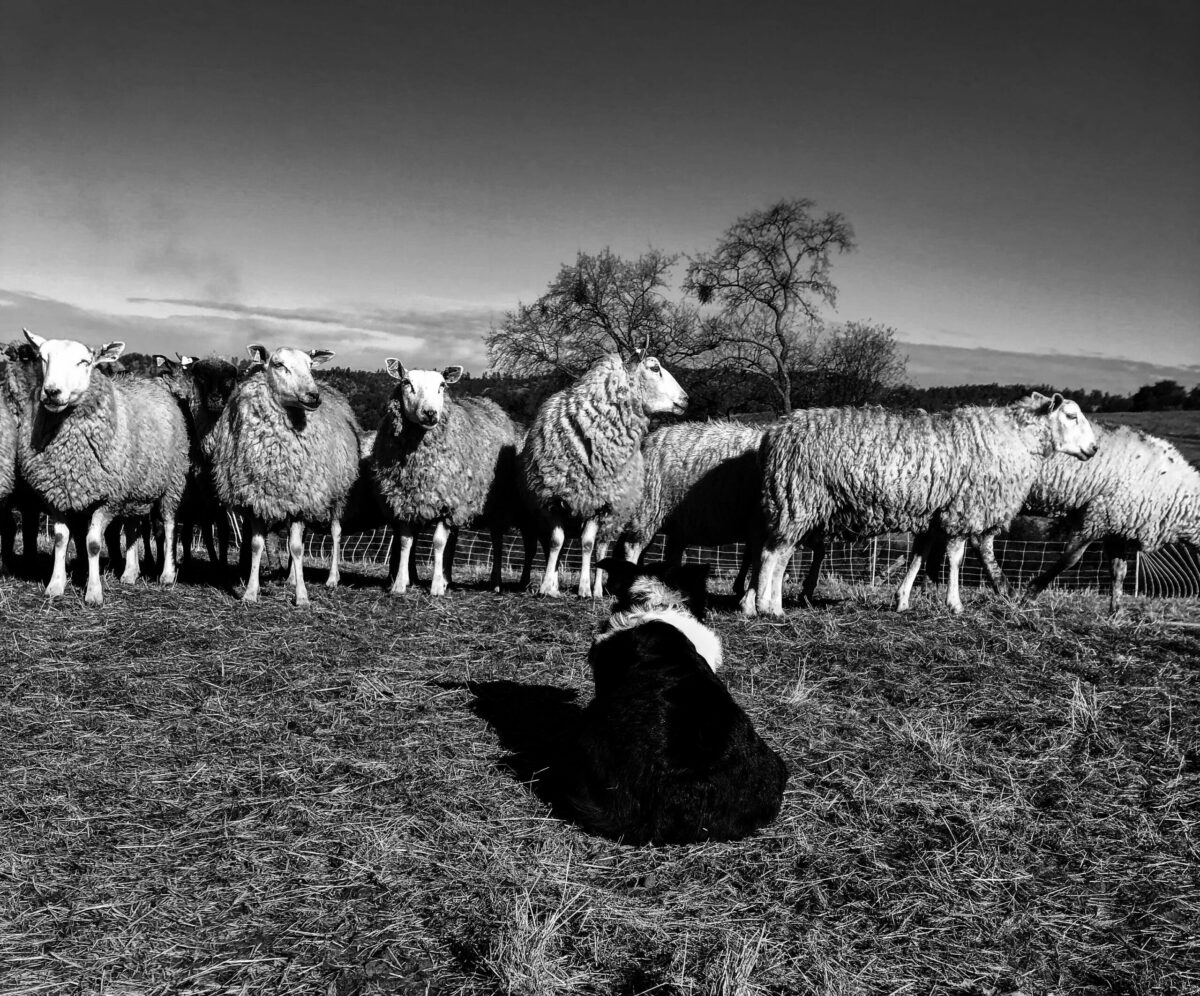 lambs and sheep dog in a field