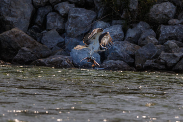 Osprey and fish 4000-150504-_7D_4358-2