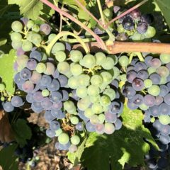 The Pace Quickens – Veraison is at Hand!
