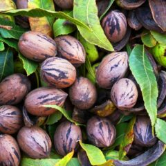 Pecans in Colusa County