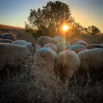 The Sheepherder's Secret