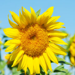 Sunflowers in the Sacramento Valley