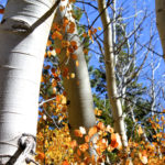 Drive of a Lifetime – Sierra Aspens at their best