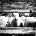 #Sheep365 Revisited: A Shepherd's Life in Photos and Words