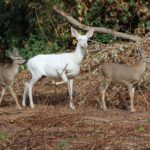 White Deer:  A unique find right here in the Sacramento Valley