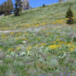 Four Spectacular Sierra Wildflower Hikes