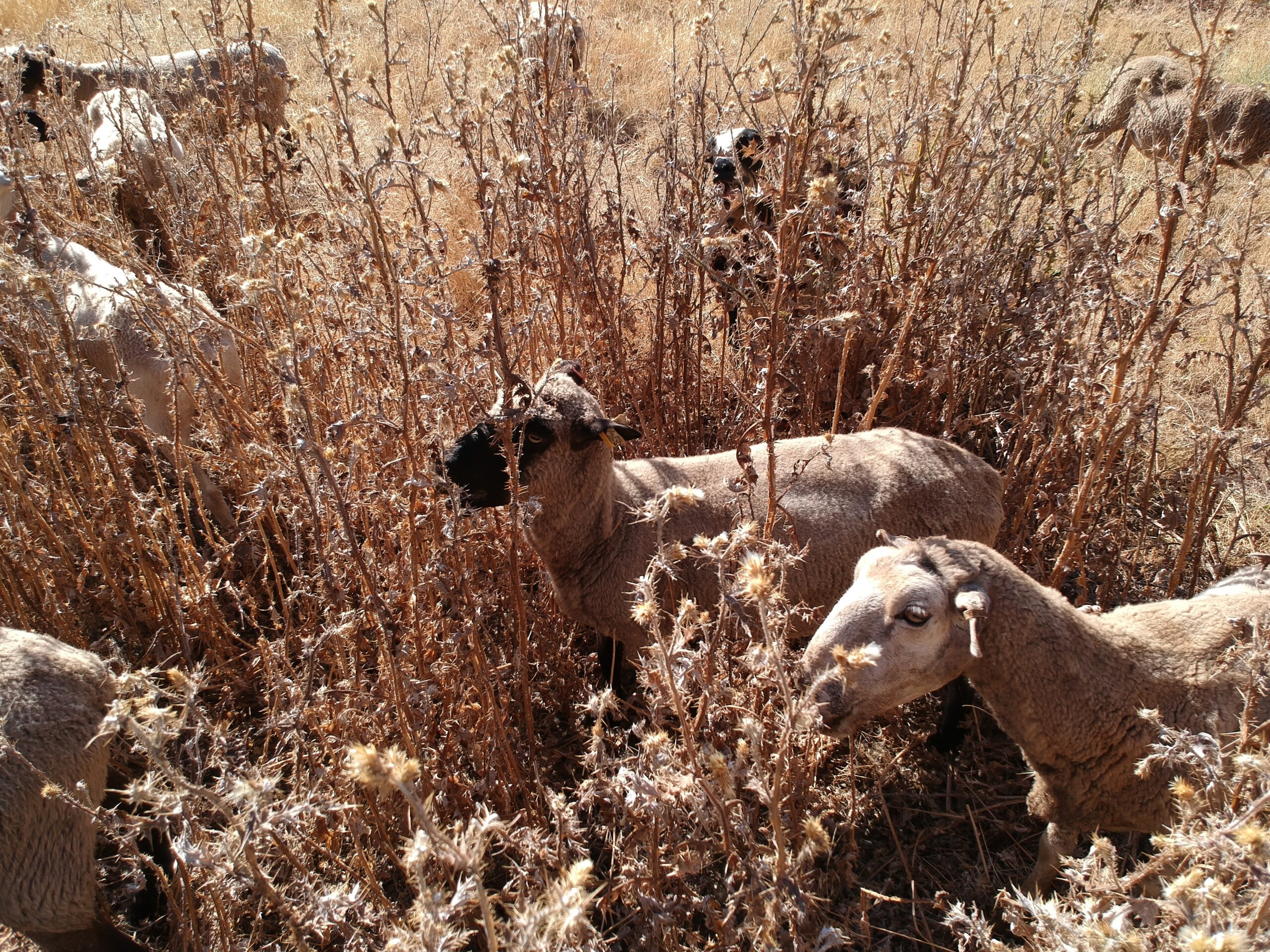 flock of sheep in dry thistles